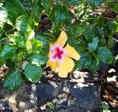 Large Orange and Red Hibiscus Flower Surrounded by Dark Green Leaves and Lava Rocks. Big Island, Kailua-Kona, Hawaii royalty free stock photo
