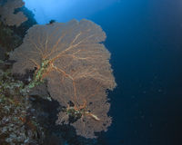 Large Orange Sea Fan on Steep Wall Royalty Free Stock Photography
