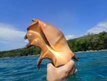 A Large Orange Spider Conch Seashell, South Pacific. A large spider conch seashell found in the South Pacific island country of Vanuatu with beautiful blue water stock image