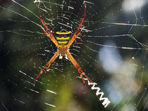 Large orange tropical spider with torso yellow color in a black stripe sits in the cobweb of its cobweb. Royalty Free Stock Photography