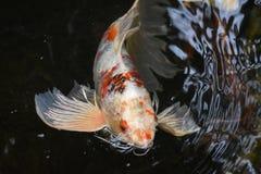 Orange and White Carp Fish Swimming stock photography