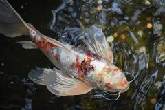 Orange and White Carp Fish Swimming stock images