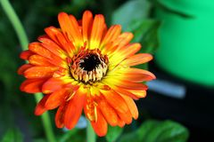 Large Orange and Yellow Daisy in a Spring Bloom royalty free stock images