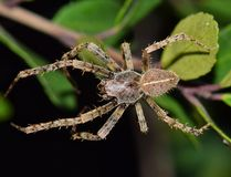 Large Orb Weaver spider at night. royalty free stock image