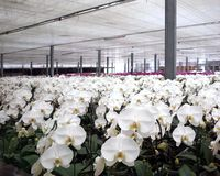 Large Orchid Plantation Stock Photos