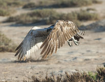 Large osprey bird in flight Stock Photos