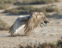 Large osprey bird in flight. Large Osprey wild raptor bird in flight showing its wingspan stock photos