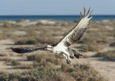 Large osprey bird in flight. Large Osprey wild raptor bird in flight showing its wingspan royalty free stock photo
