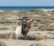 Large osprey bird in flight Royalty Free Stock Photo