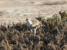 Large osprey bird stood in bushes Stock Photos