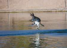 Large Osprey with his breakfast Stock Images