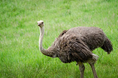 Large ostrich Stock Photos