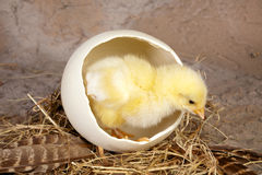 Large ostrich egg with chick Stock Photo