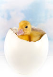 Ostrich egg with easter duckling Stock Image