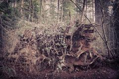 Large overturned tree with exposed routes and soil Stock Images