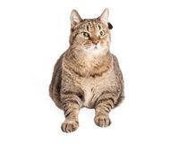 Large Overweight Tabby Cat Royalty Free Stock Photos