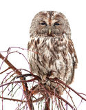 Large owl 1 Royalty Free Stock Images