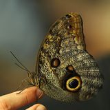 Large Owl Butterfly Stock Photo