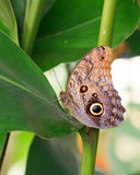 A Large Owl Butterfly resting on a bright Green Leaf Stock Photo