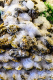 Large pacific oysters. On market stand Stock Photography