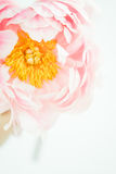 Large Pale Pink Blush Peony Flower Close-up. A close-up of pale pink blush peony flower with yellow center and seeds Royalty Free Stock Photo