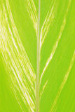Large palm frond leaf Royalty Free Stock Photo