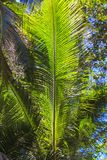 Large palm leaf on background blue sky Royalty Free Stock Photography