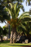 Large palm of Phoenix canariensis. Dates Canaries, symbol. Tenerife, Spain Stock Photo
