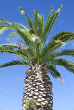 Large palm tree above blue sky Royalty Free Stock Images