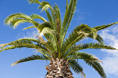 Large palm tree above blue sky Stock Images