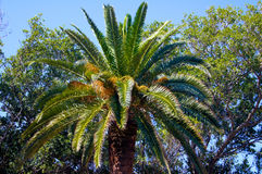 Large palm tree branched. In forest Stock Photography