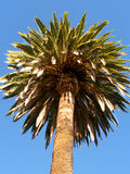 Large palm tree viewed from below. Against the blue sky Royalty Free Stock Images