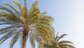 Large palm tree Stock Images