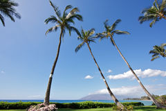 Large Palm Trees Stock Photography