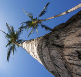 Large palm trees Royalty Free Stock Image