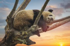 Large panda resting on a tree stock photos