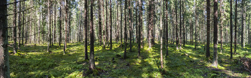 Large panorama of green forest in summer Stock Photo