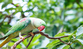 Large parakeet (Psittacula eupatria) bird. On tree Royalty Free Stock Photography