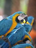 Large parrot blue-and-yellow macaw. Sitting on a perch Royalty Free Stock Image