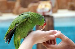Large parrot eat food with hands. Royalty Free Stock Photo
