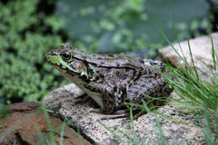 Large Patient Bullfrog Stock Image
