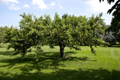 Large peach tree in backyard orchard Stock Images