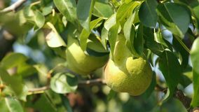 Large pears on a tree stock video