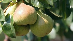 Large pears on a tree stock footage
