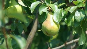 Large pears on a tree stock video footage