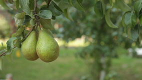 Large pear hangs on the tree. Ripe fruit. Fruit tree. Large pear hangs on the tree. Ripe fruit stock footage