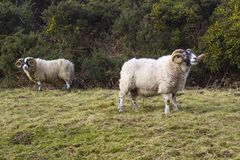 A large ram with twisted horns grazing on winter pasture in the rugged Mourne Mountains in county down in Northern Ireland. A large pedigree ram with twisted Royalty Free Stock Photo