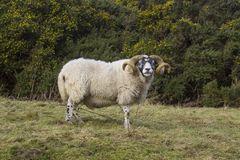 A large ram with twisted horns grazing on winter pasture in the rugged Mourne Mountains in county down in Northern Ireland. A large pedigree ram with twisted Royalty Free Stock Photos