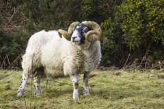 A large ram with twisted horns grazing on winter pasture in the rugged Mourne Mountains in county down in Northern Ireland. A large pedigree ram with twisted Stock Image