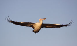 Large Pelican in flight. Majestic pelican in flight showing its enormous wingspan royalty free stock photo